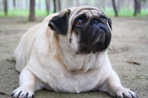 Overweight Pet Care